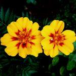 Menanam Bunga Marigold, Bunga yang Menawan