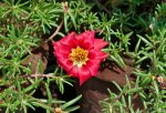 Menanam Bunga Krokot, Moss Rose