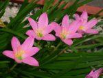 Rain Lily, Bunga Hujan