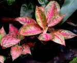 Red Aglaonema, Merahnya Sri Rejeki
