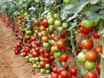Tomat |  Solanum lycopersicum