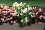 Begonia, Bunga Indah Berdaun Menawan