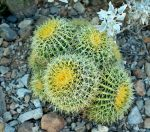 Siklus Hidup Kaktus Mini