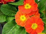 Bunga Primrose, Legenda Bunga 12 Dewa