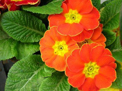 Primrose, Bunga 12 Dewa