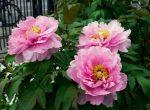 Tanaman Hias Bunga yang Mudah Ditanam