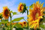 Jenis Bunga Matahari yang Paling Cantik