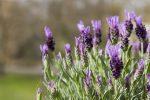 7 Manfaat Bunga Lavender di Indonesia