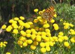 Artemisia Annua, Si Cantik Obat Malaria