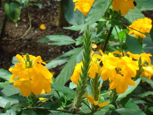 bunga crossandra
