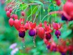 Menanam Bunga Fuchsia, Tanaman Anting India