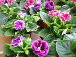 Menanam Bunga Gloxinia, Bunga Beludru