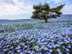 Menanam Bunga Nemophila, Baby Blue Eyes