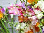 Menanam Bunga Freesia Refracta, Bunga Seharum Parfum