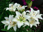 Bunga Bakung, Salah Satu Bunga Terindah