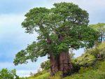 Menanam Pohon Untuk Naungan