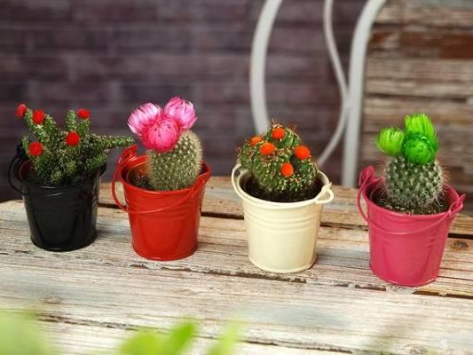menanam kaktus mini