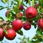 Cara Menanam Apel Merah dari Biji