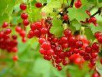 Apakah Berry Merah Aman Dimakan?