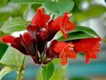 Bunga Lipstik, Cara Merawat Aeschynanthus